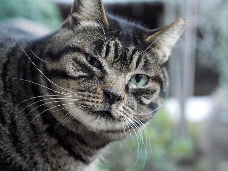 立派なお髭のキジトラ猫1
