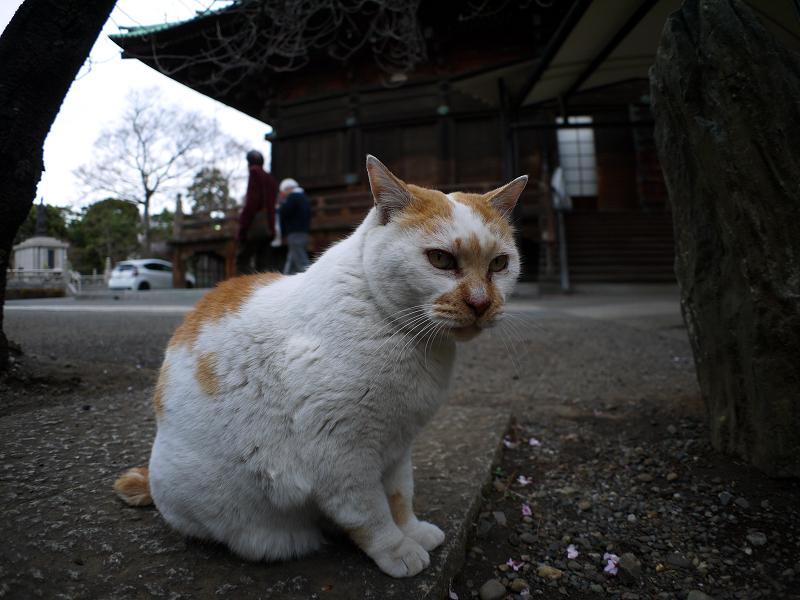 境内の白茶猫2