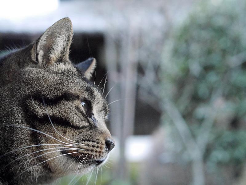 立派なお髭のキジトラ猫2