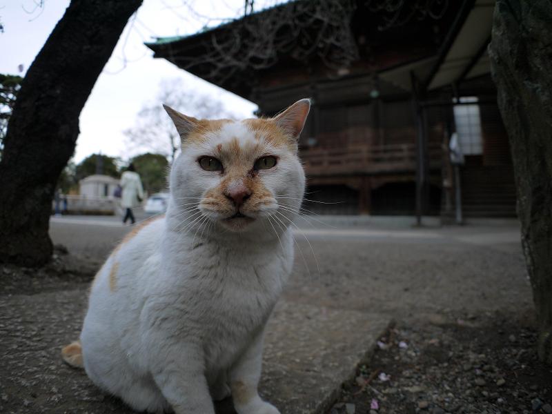 境内の白茶猫3