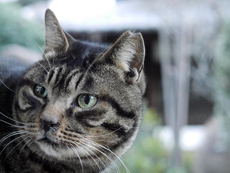 立派なお髭のキジトラ猫3