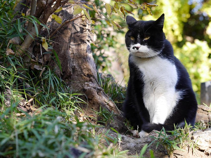 威風堂々の黒白猫1