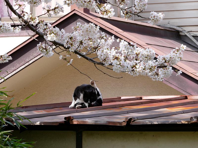 サクラと屋根で毛づくろいする黒白猫1