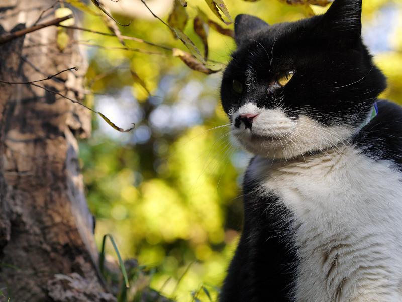 威風堂々の黒白猫2