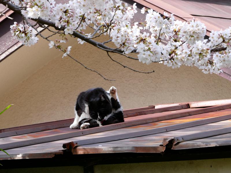 サクラと屋根で毛づくろいする黒白猫2