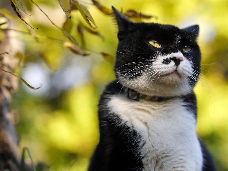 威風堂々の黒白猫3