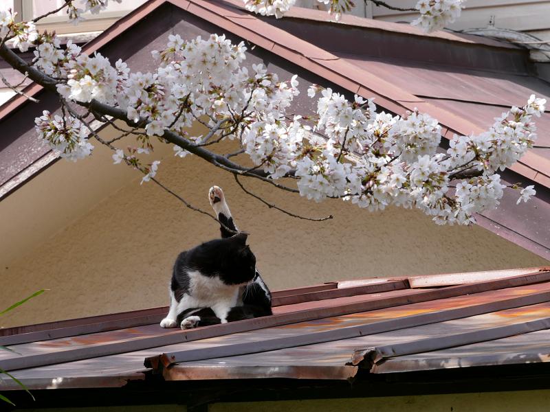 サクラと屋根で毛づくろいする黒白猫3