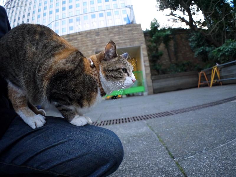 膝で寛ぐ三毛猫1