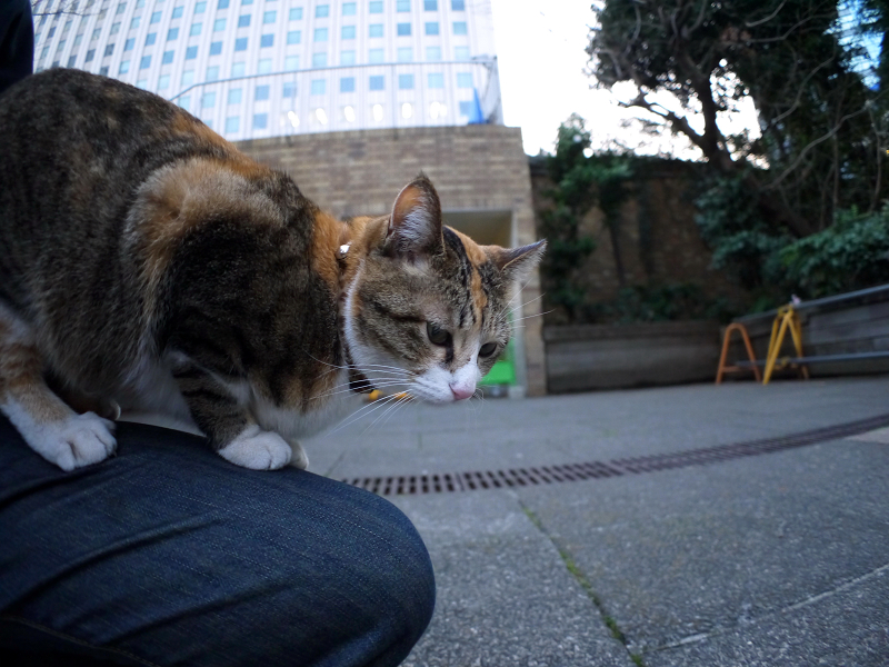 膝で寛ぐ三毛猫2