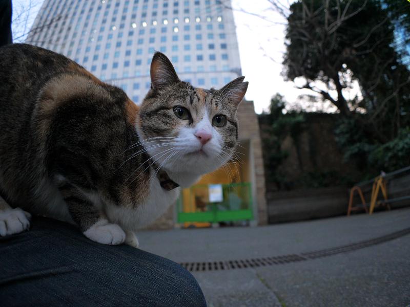 膝で寛ぐ三毛猫3