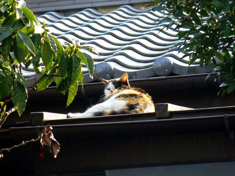 屋根で目を覚ました三毛猫1