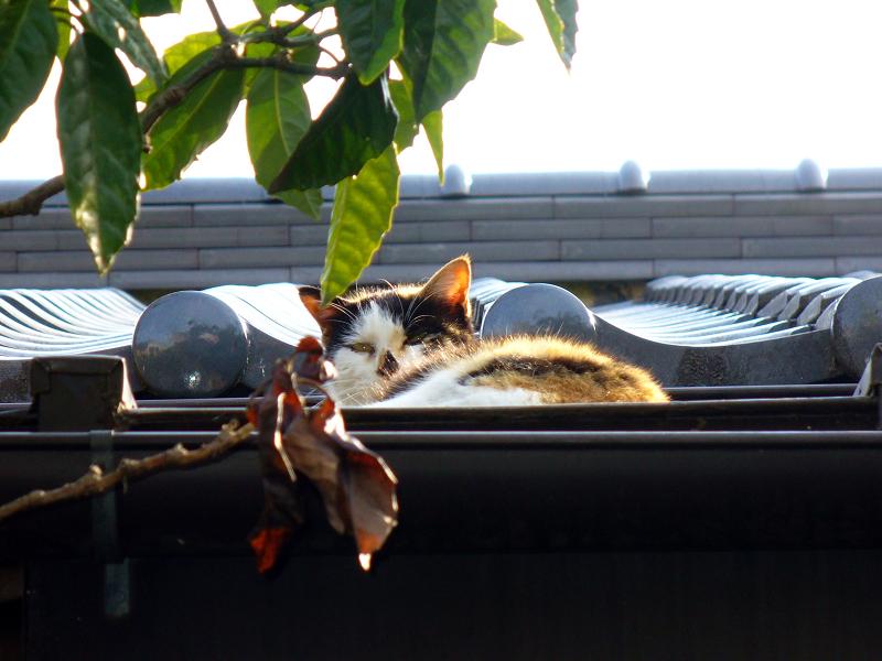屋根で目を覚ました三毛猫2