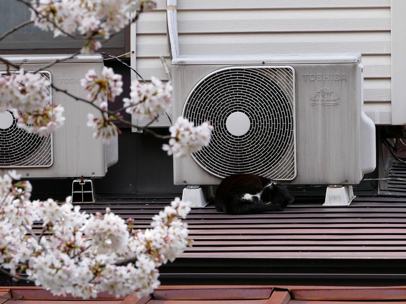 サクラと室外機の黒白猫