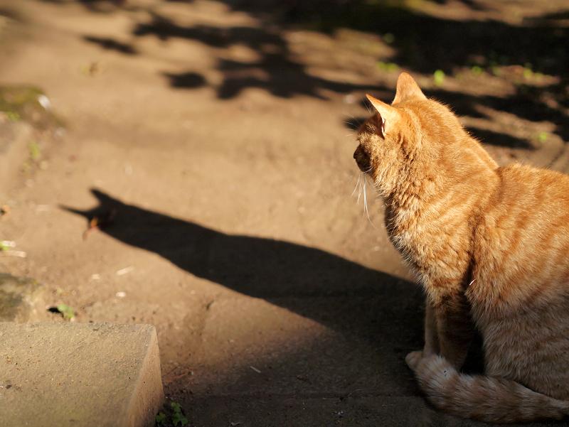 茶トラ猫の影2