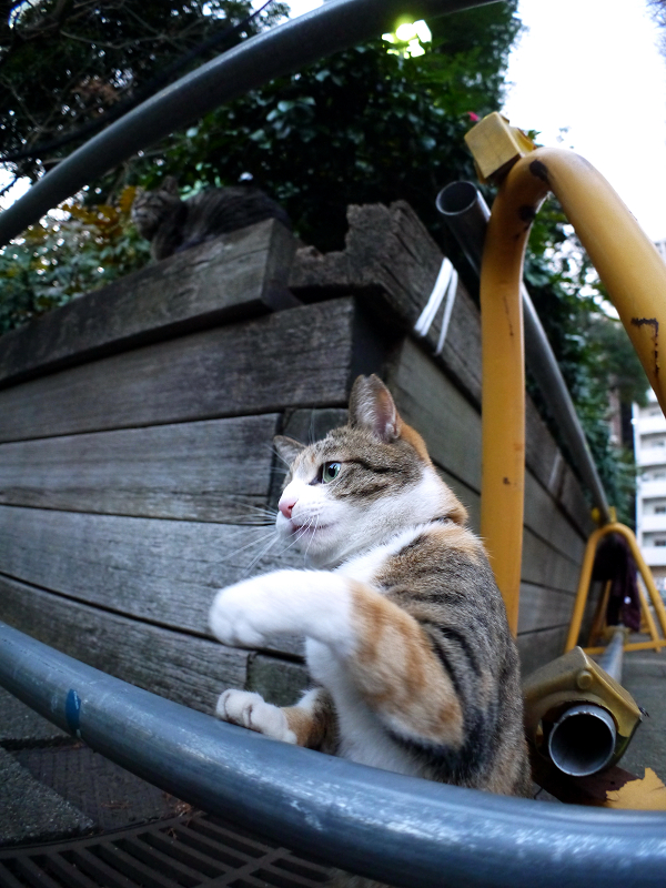 ゴム紐で遊んだ三毛猫1
