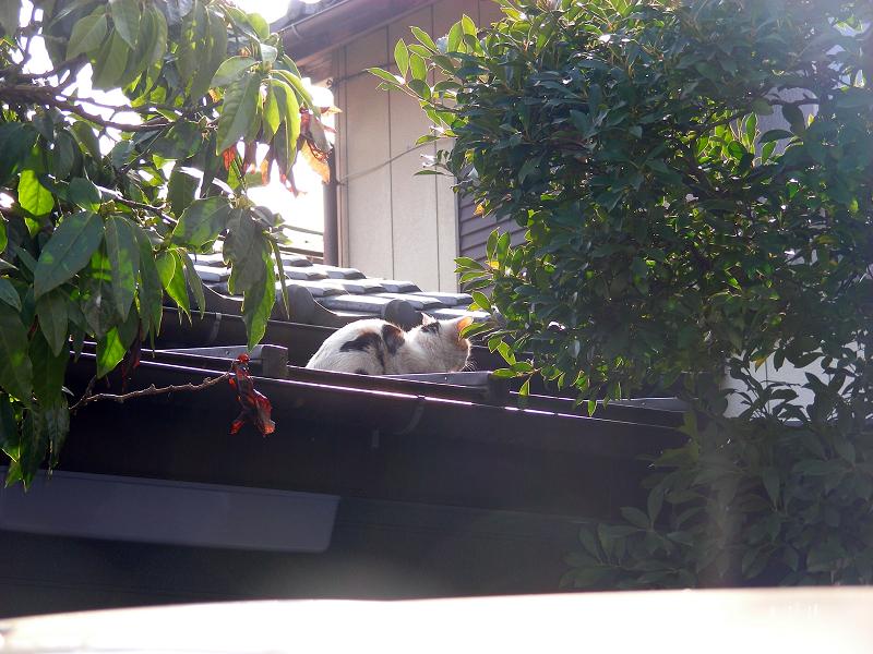 逆光と屋根の三毛猫1