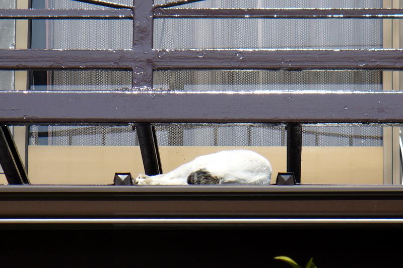 物干しで寝てる白キジ猫1