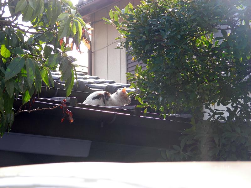 逆光と屋根の三毛猫2