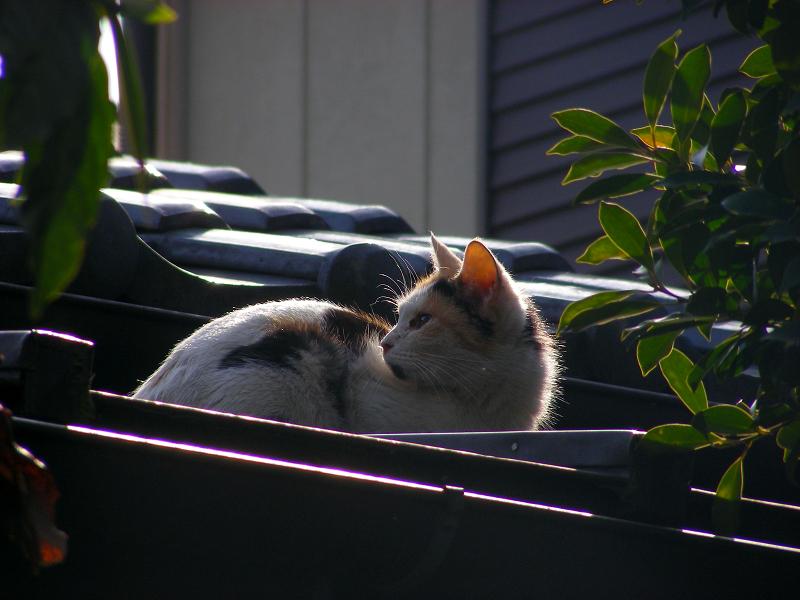 逆光と屋根の三毛猫3