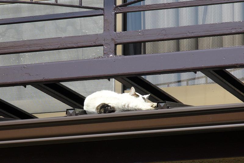 物干しで寝てる白キジ猫3