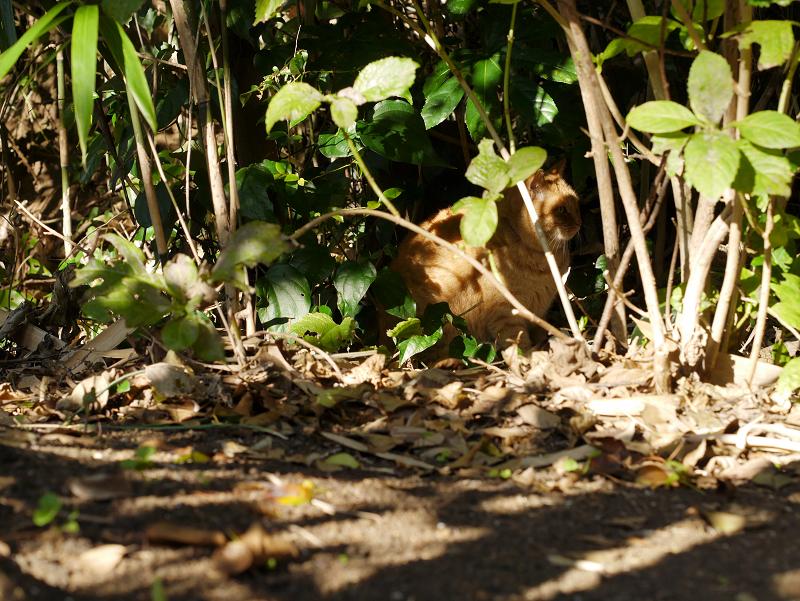 日差しが当たる茂みの茶トラ猫1