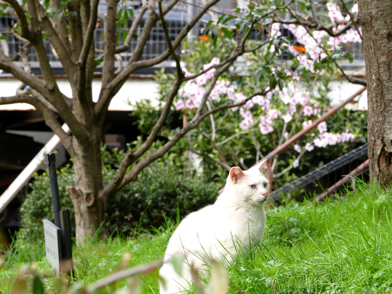 サクラと白猫2