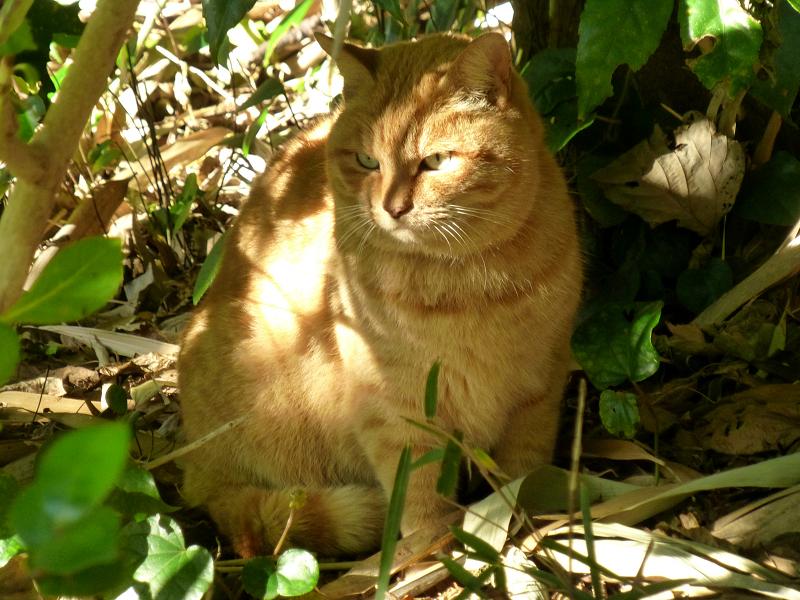 日差しが当たる茂みの茶トラ猫2