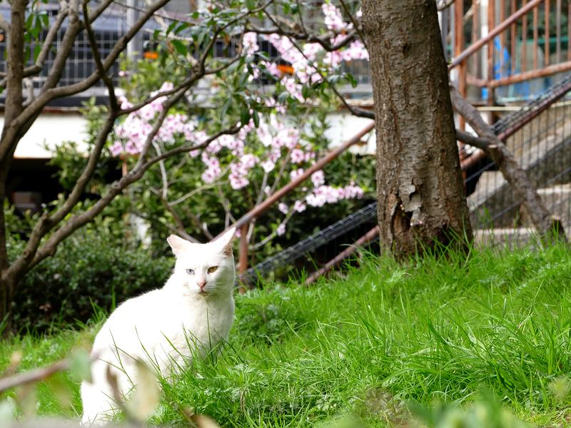 サクラと白猫3