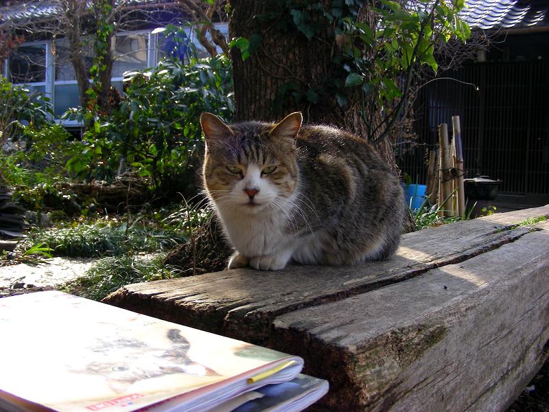 枕木ベンチのキジ白猫1