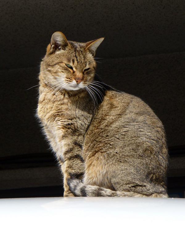 ルーフ上のキジトラ猫1