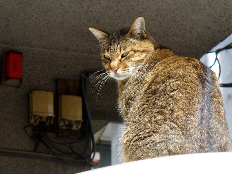 ルーフ上のキジトラ猫2