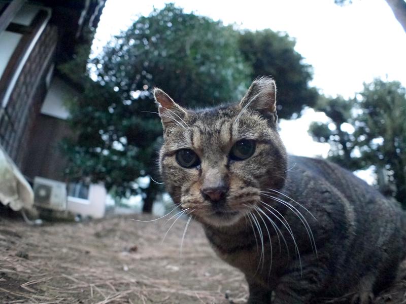 初対面で触れたキジトラ猫1