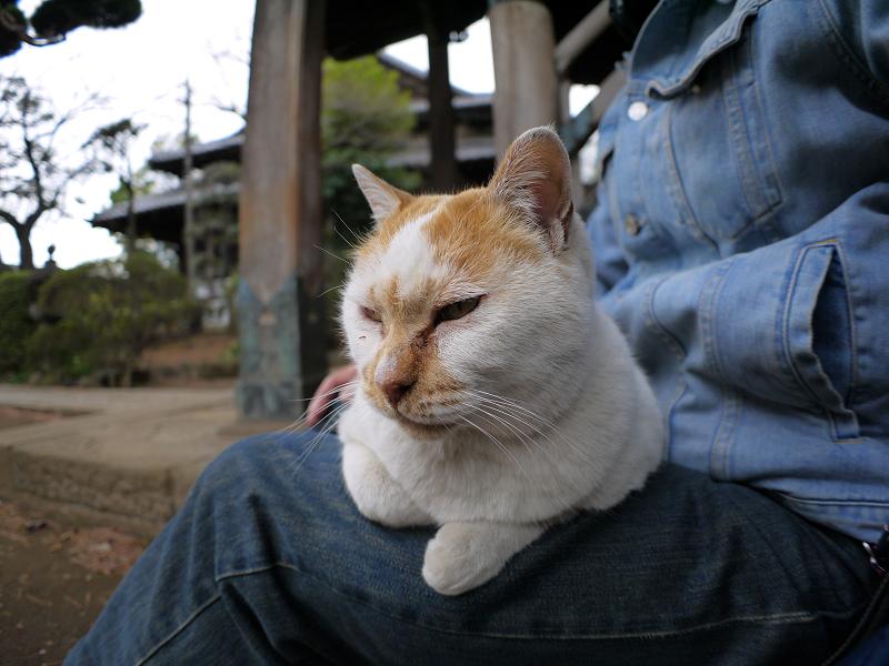 いつものように膝に乗ってる白茶猫1