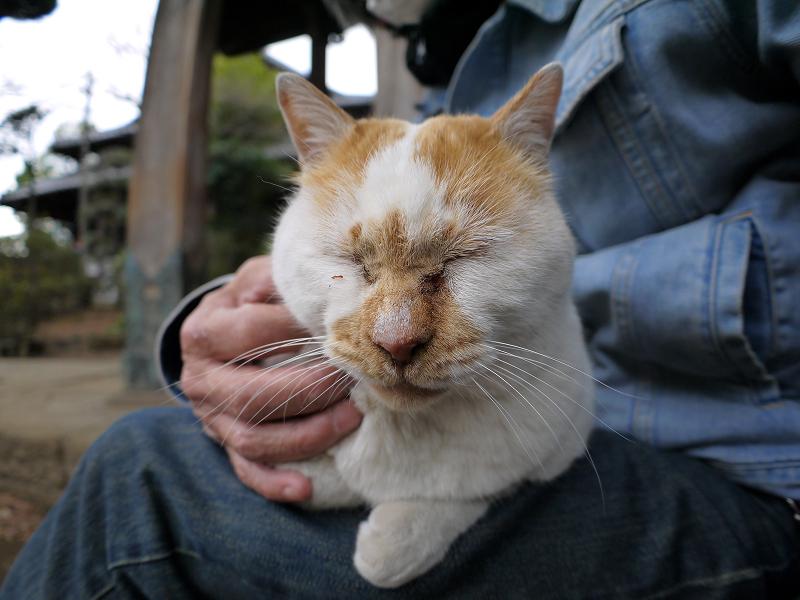 いつものように膝に乗ってる白茶猫2