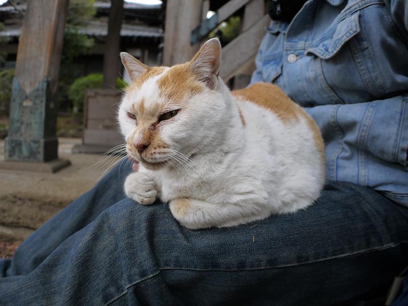 いつものように膝に乗ってる白茶猫3