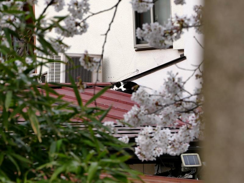 サクラと屋根の端っこの猫1