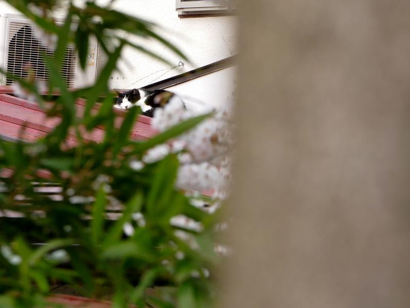 サクラと屋根の端っこの猫2