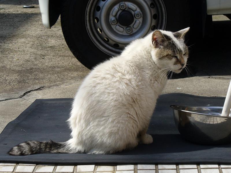 デカイ白キジ猫3