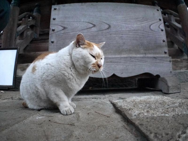 賽銭箱と白茶猫1