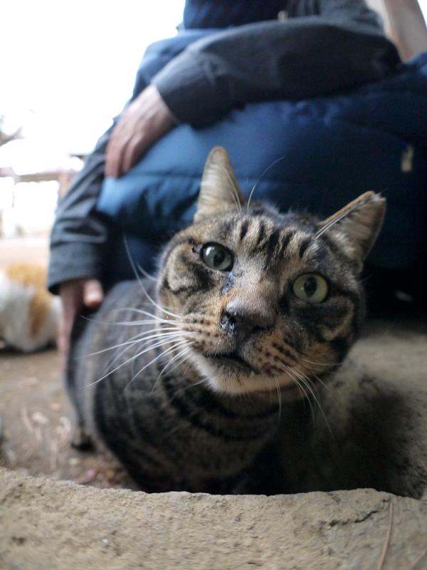 境内飛び石のキジトラ猫1