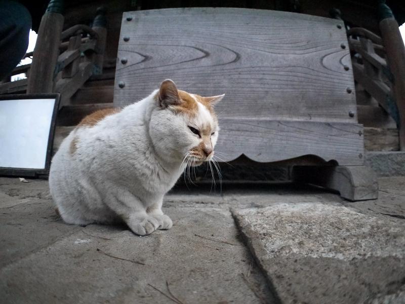 賽銭箱と白茶猫2