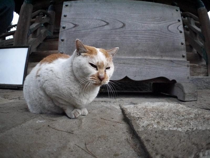 賽銭箱と白茶猫3
