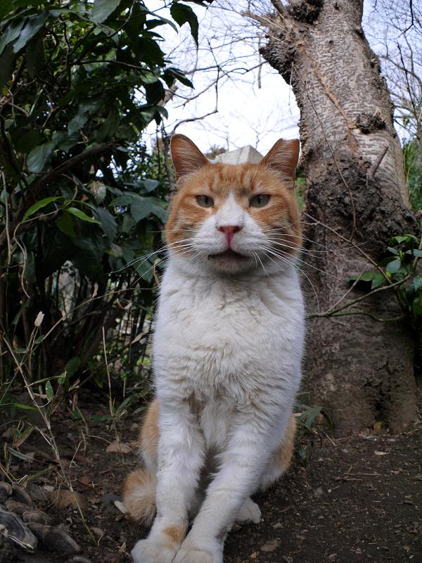 木の根元の茶白猫1