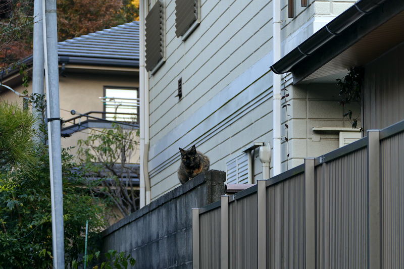 ブロック塀にサビ猫1