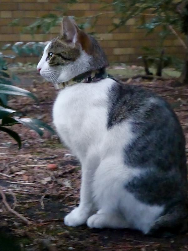 公園のキジ白猫1