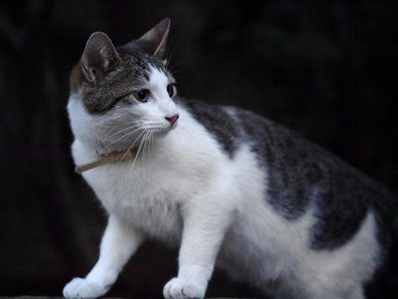 公園のキジ白猫2