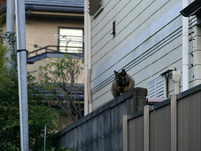 ブロック塀にサビ猫2