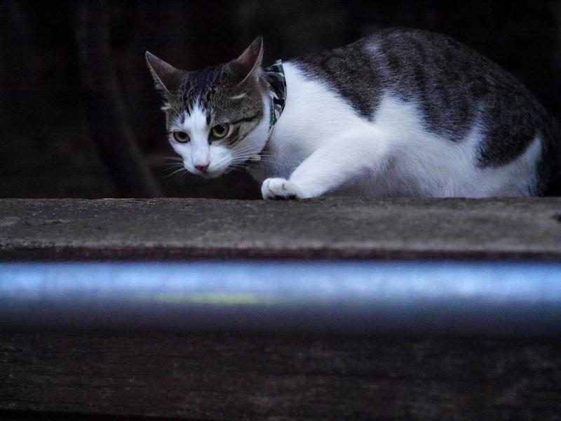 公園のキジ白猫3