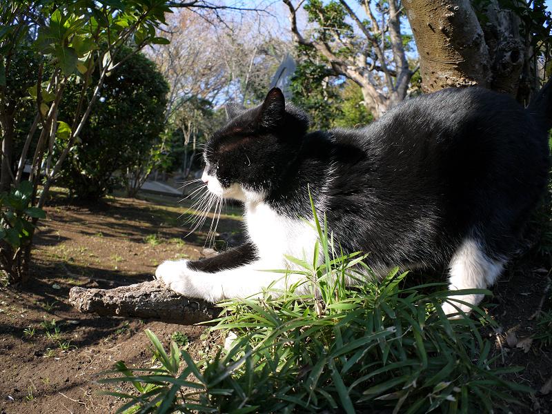 木の根っこで爪を研ぐ黒白猫1