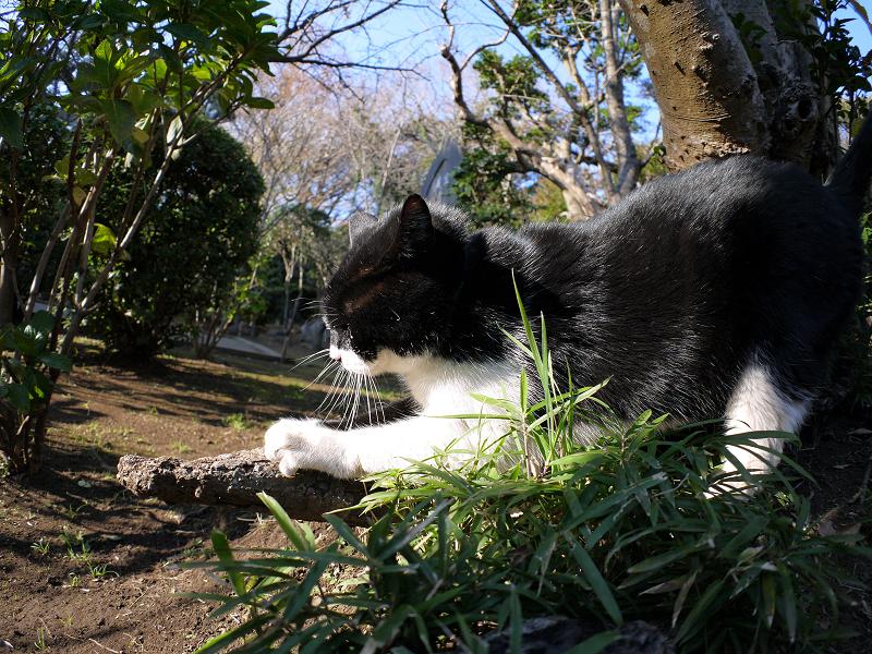 木の根っこで爪を研ぐ黒白猫2